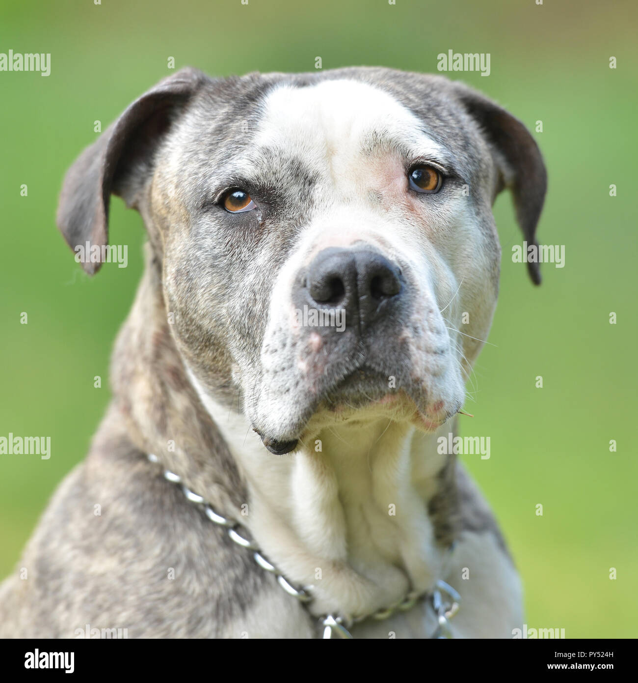 Portrait of pit bull - Stock Image