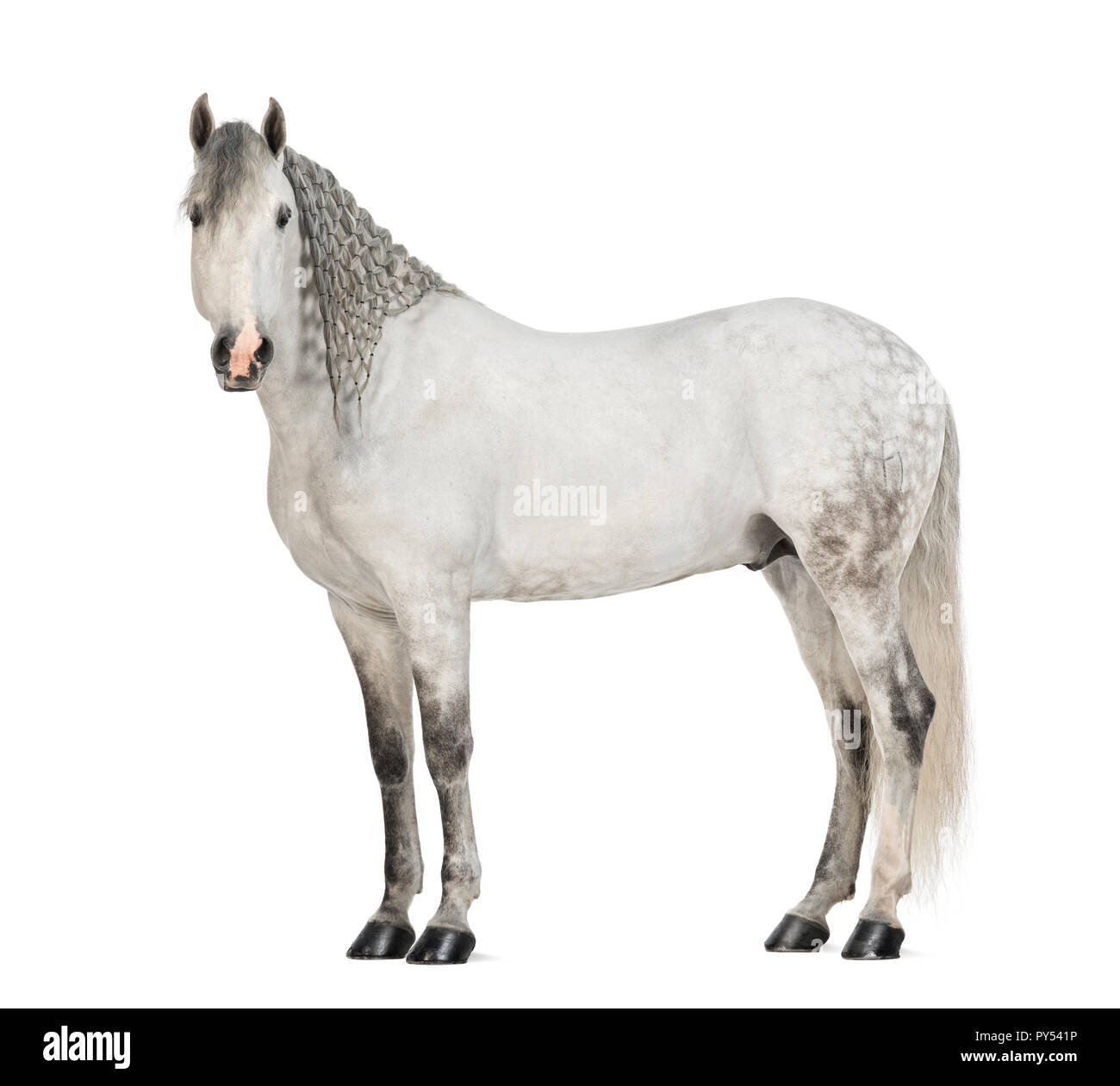 Side view of a Male Andalusian with plaited mane, 7 years old, also known as the Pure Spanish Horse or PRE, Stallion against white background - Stock Image