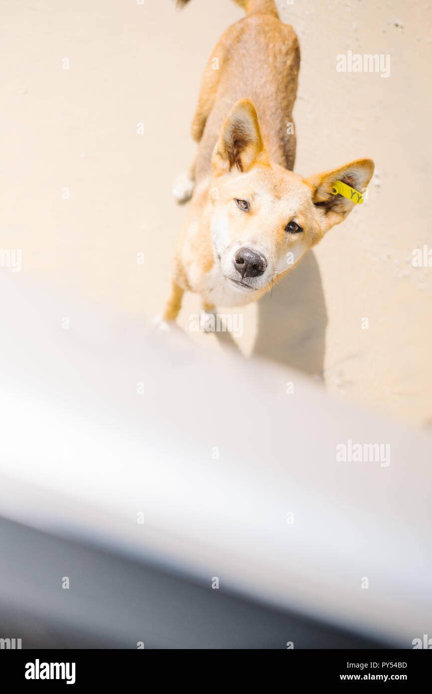 The Purest Breed of Dingo on Fraser Island, Australia Stock Photo