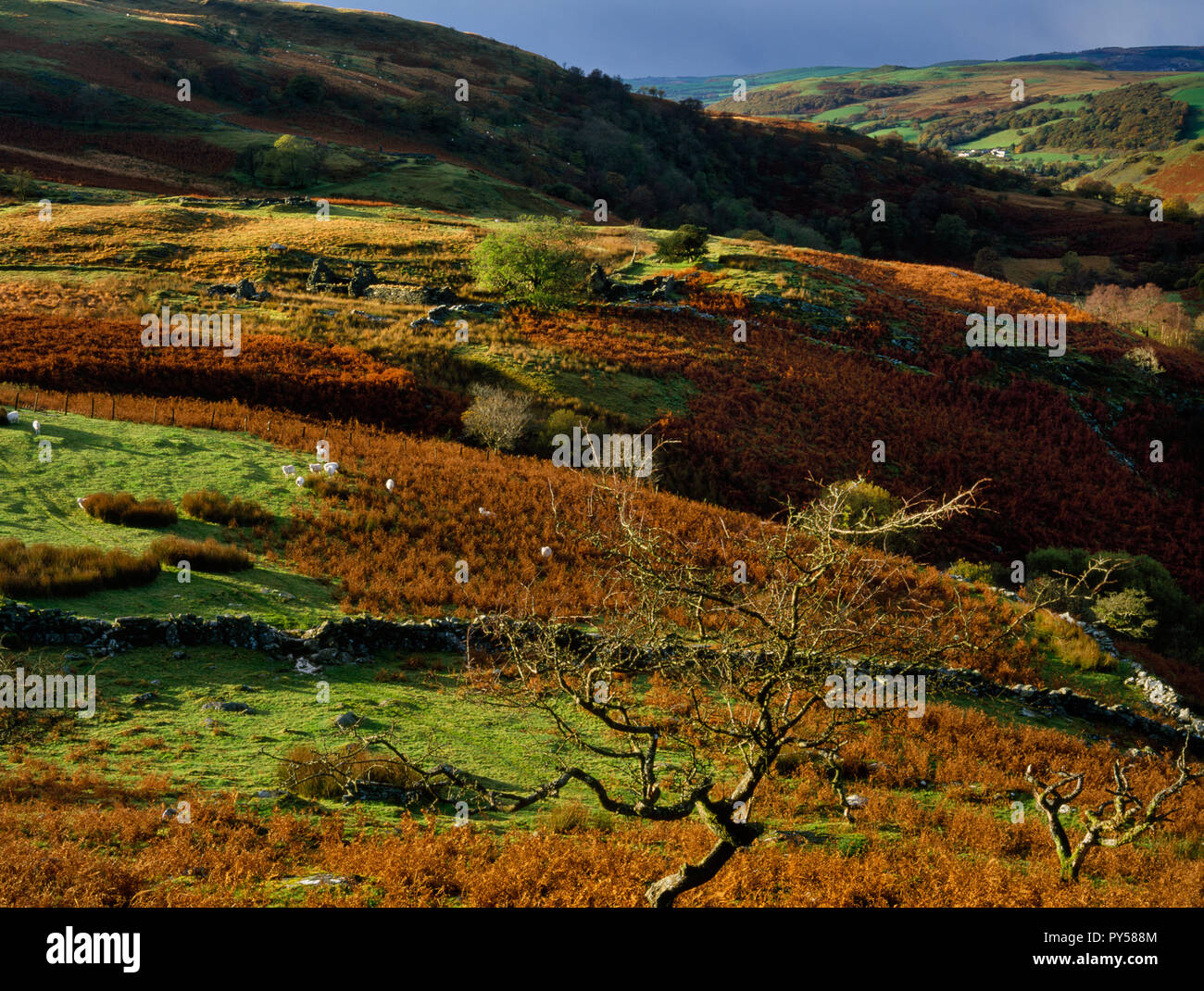 View WNW of ruined farmsteads in the Mwyro Valley, Ceredigion, Wales, UK, a remote but once populated & well organized upland landscape now deserted. - Stock Image