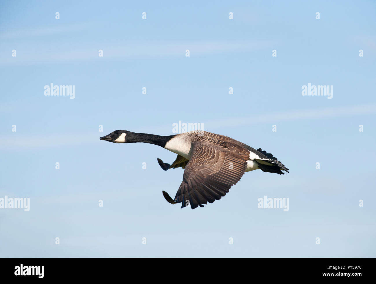 Canada Goose, Branta canadensis, flying over Brent Reservoir, Brent, London, United Kingdom - Stock Image