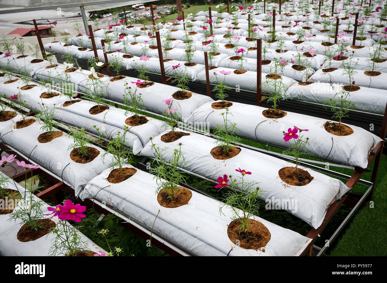 Cultivation Of Gerbera Flowers In Greenhouse In Cameron Highland Malaysia Modern Flower Cultivation In Greenhouse Stock Photo Alamy