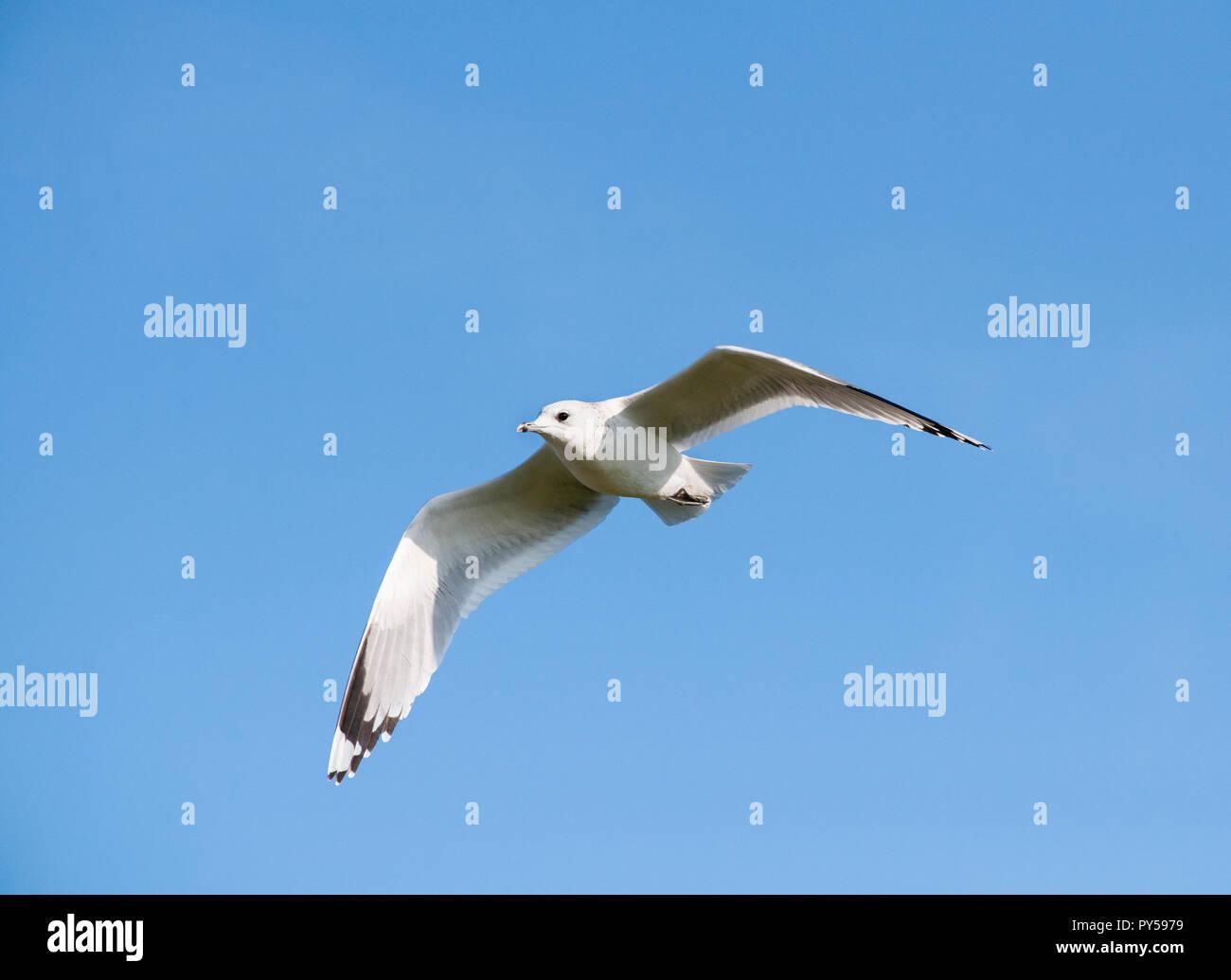 Common Gull, Larus canus, in flight over Brent Reservoir, Brent, London, United Kingdom - Stock Image