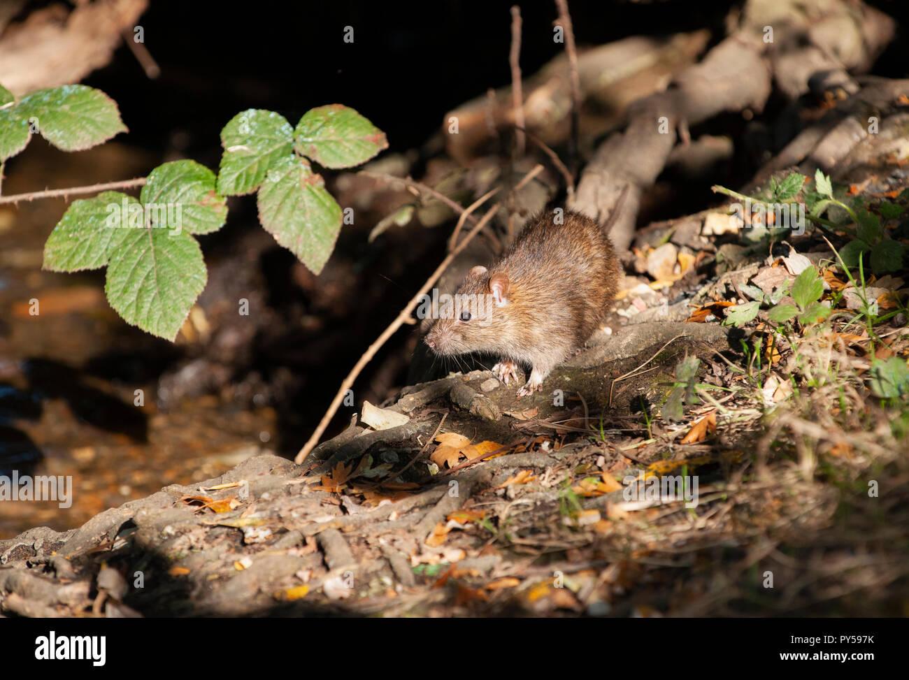Brown Rat, Rattus norvegicus, in woodland, Hampstead Heath, London, United kingdom, British Isles - Stock Image