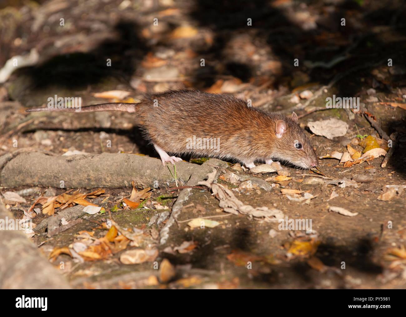 adult Brown Rat, Rattus norvegicus, Walthamstow Reservoirs, London, United Kingdom - Stock Image