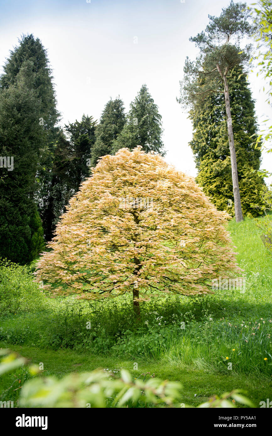 An Acer briliantisimum in the arboretum at the Miserden Estate in Gloucestershire UK - Stock Image
