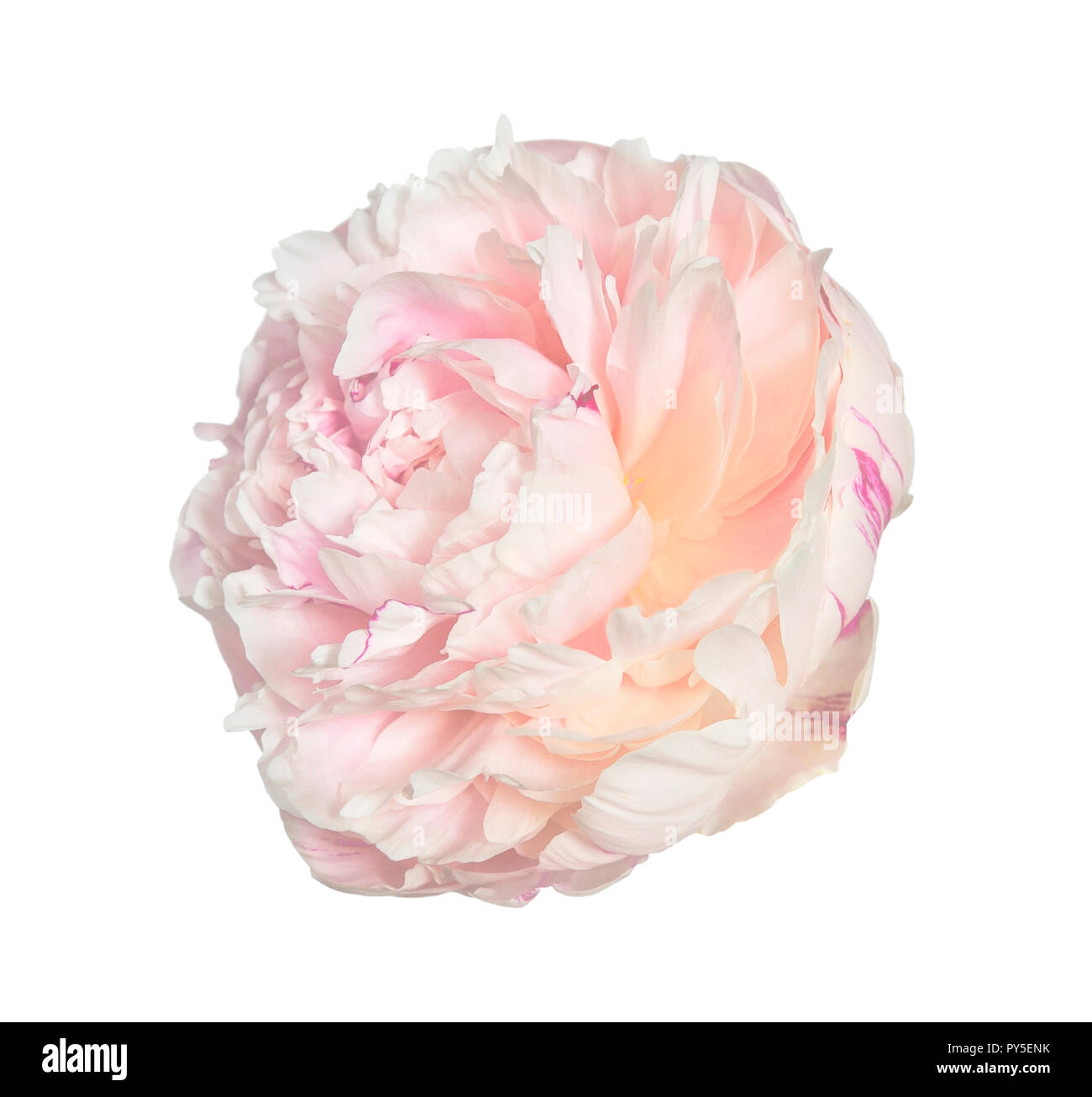 Gentle pink with creamy peony flower with fluffy, frilly petals close up, isolated on white background. Romantic floral pattern - Stock Image