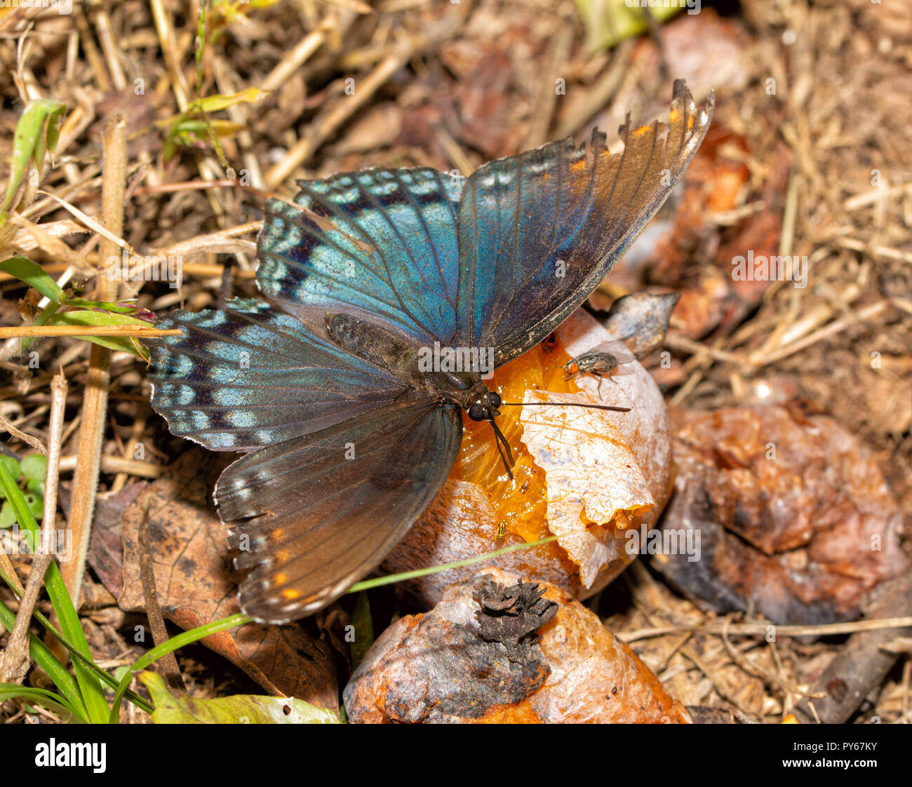 Red-spotted Purple butterfly feeding juices and nitrogen off of a fermenting Persimmon fruit - Stock Image