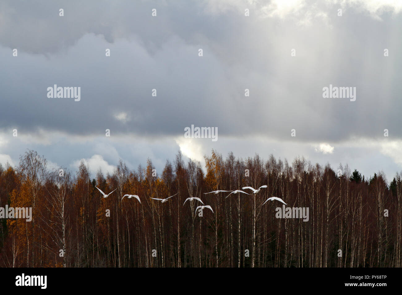 Whooper swans taking off over the birch forest in Finland - Stock Image