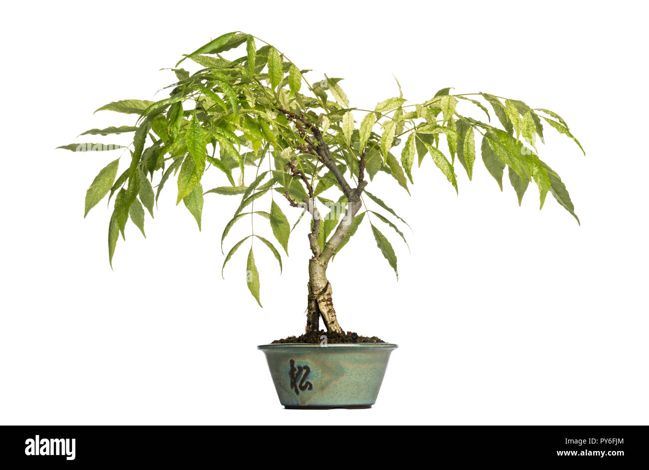 Wisteria Bonsai Tree Isolated On White Stock Photo Alamy