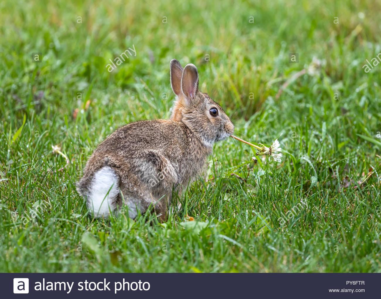 Eastern Cottontail Rabbit, (Sylvilagus floridanus), feeding on weeds, Winnipeg, Manitoba, Canada. - Stock Image