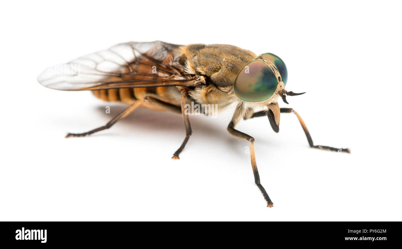 Side view of a Horsefly, Tabanus, isolated on white Stock Photo
