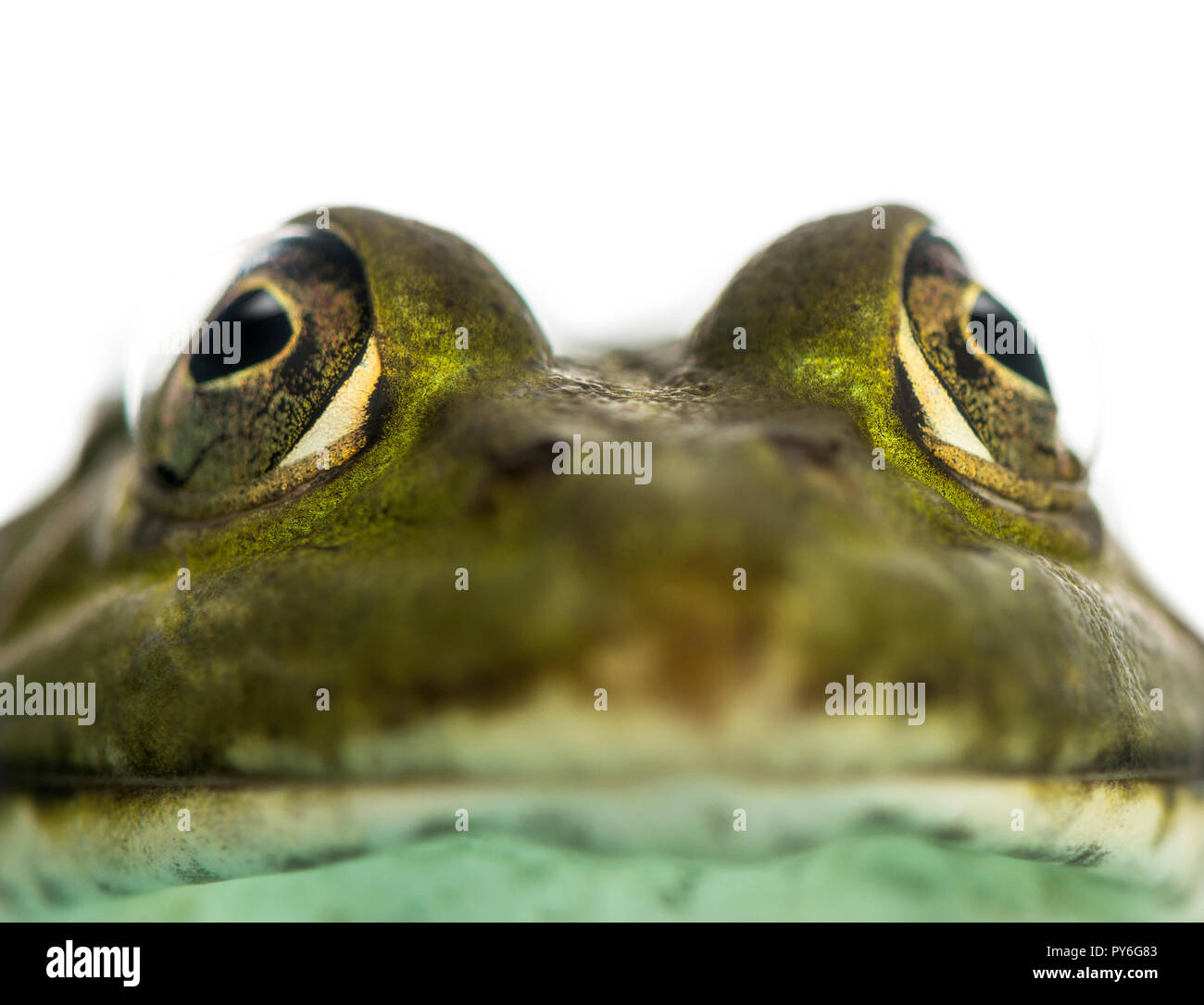 Close-up of an Edible Frog facing, Pelophylax kl. esculentus, isolated on white - Stock Image