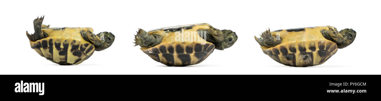 Side view of three baby Hermann's tortoise lying on their back, Testudo hermanni, isolated on white Stock Photo