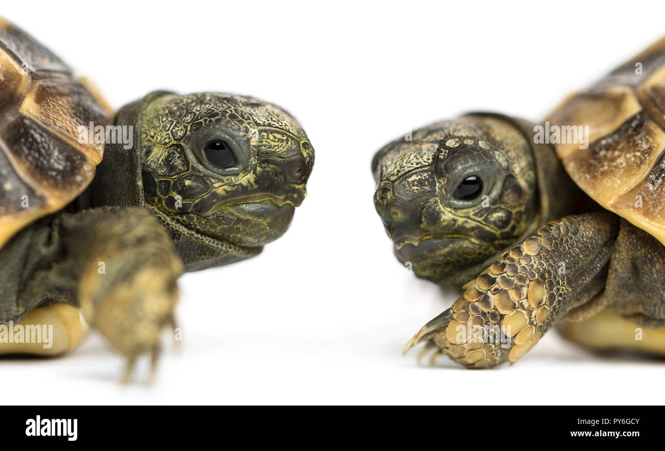 Close-up of two baby Hermann's tortoise facing each other, Testudo hermanni, isolated on white - Stock Image
