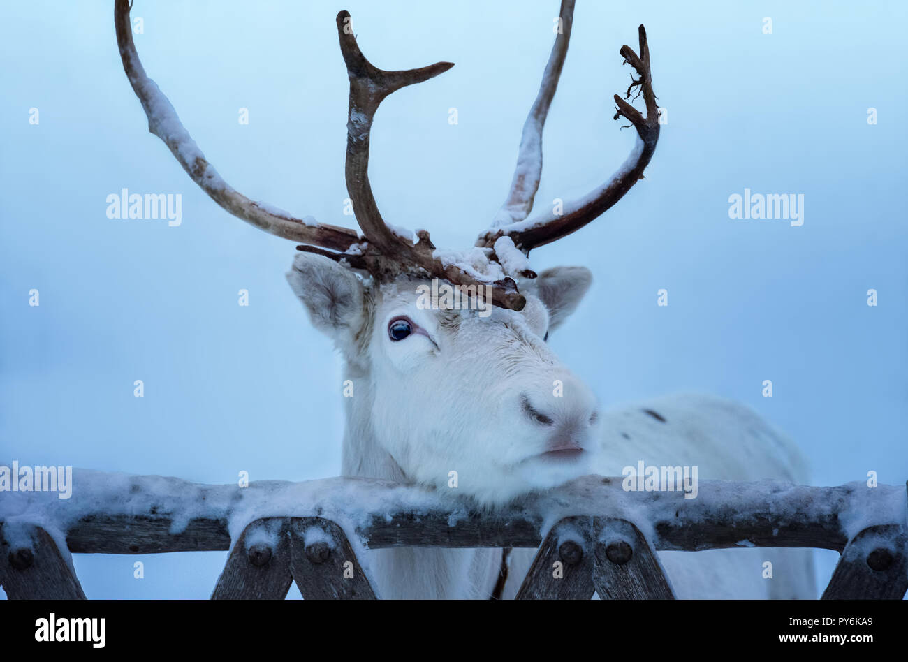 Close-up portrait of white reindeer with horns. Beautiful adult animal put the head on old wooden gate of deer enclosure in Lapland, Finland. Unfocuse - Stock Image