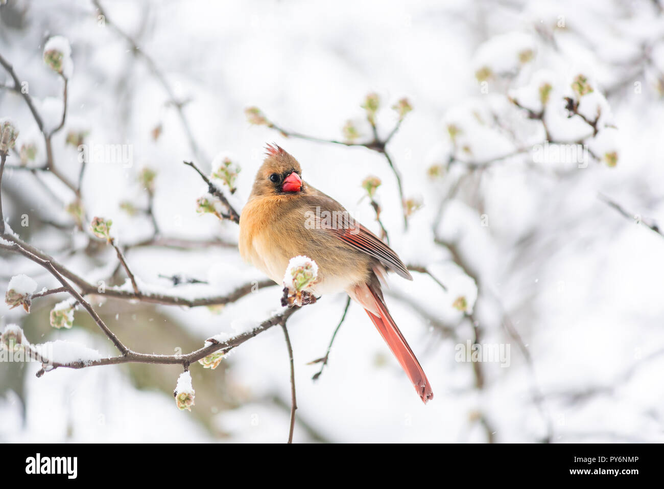Puffed up angry one female red northern cardinal, Cardinalis, bird sitting perched on tree branch during heavy winter in Virginia, snow flakes falling - Stock Image