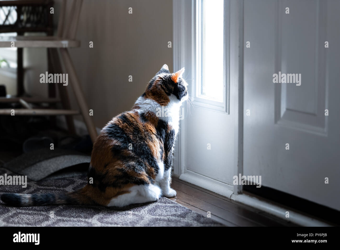 Sad, calico cat sitting, looking through small front door window on porch, waiting on hardwood carpet floor for owners, left behind abandoned - Stock Image