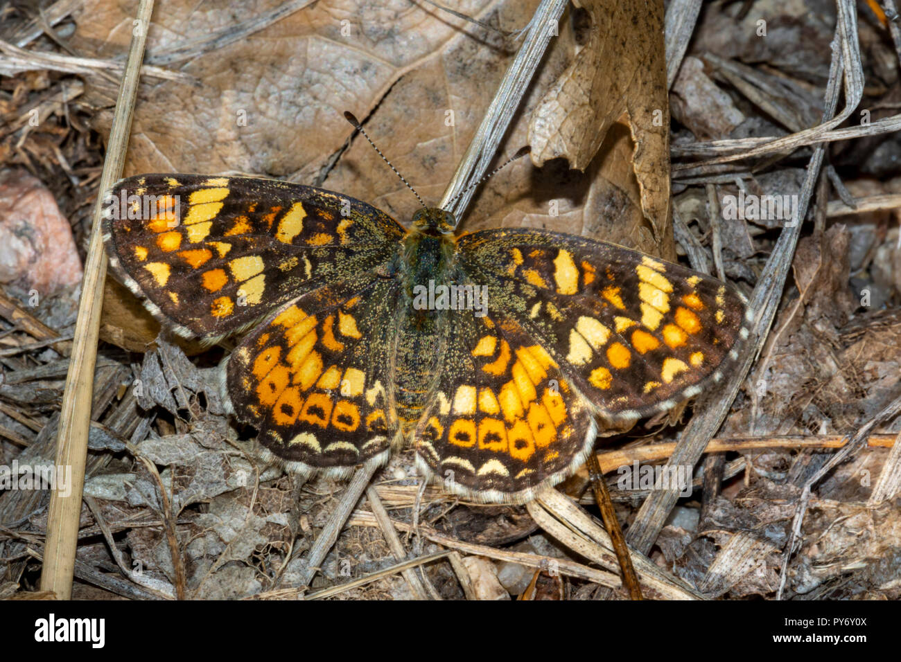 Field Crescent Butterfly (Phyciodes pulchella) resting in woodland ground leaf litter, Castle Rock Colorado US. - Stock Image