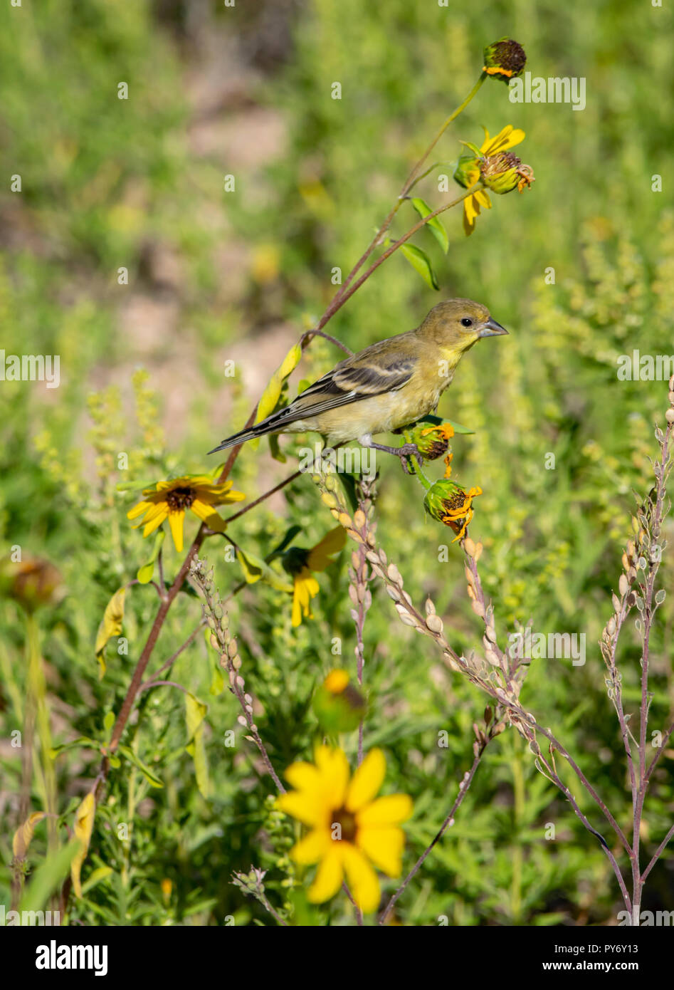 Female Lesser Goldfinch (Spinus psaltria) searching for seeds on prairie sunflowers, Castle Rock Colorado US. Photo taken in August. - Stock Image