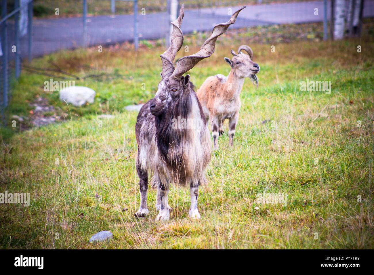 Wild mountain sheep with huge horns twisted into a spiral. The animal lives in a good reserve over a large area. - Stock Image