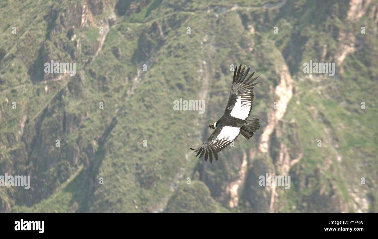 Condor em seu voo sobre o Valle Del Colca - Stock Image