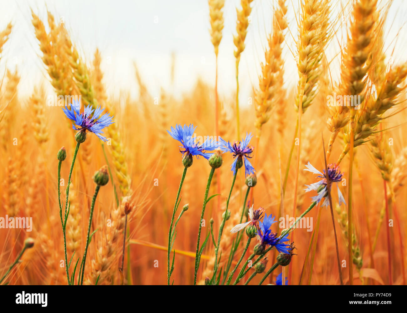 nature background with blue cornflowers wild flowers growing on a field with ripe Golden ears of corn, and the grains of wheat on a Sunny day - Stock Image