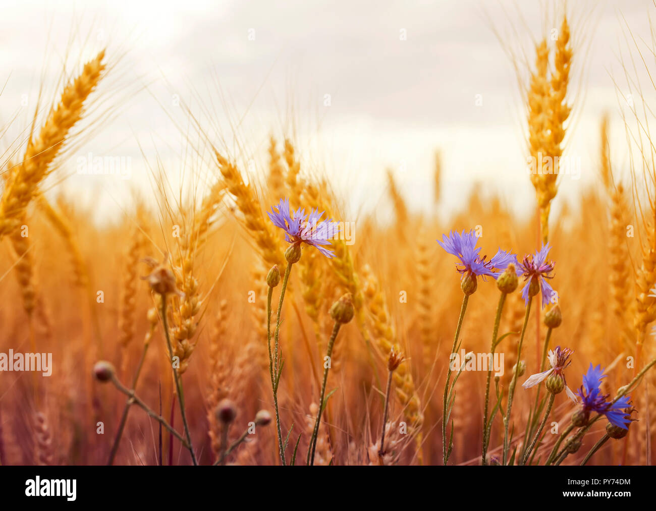 beautiful nature background with blue cornflowers wild flowers growing on a field with ripe Golden ears of corn, and the grains of wheat on a Sunny da - Stock Image