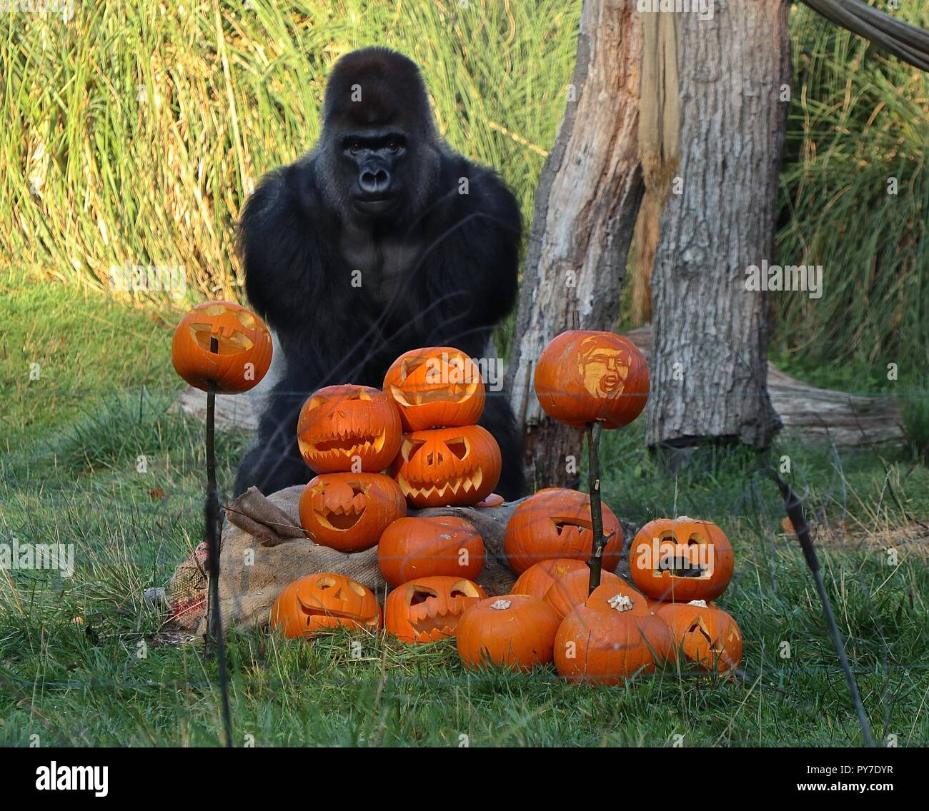 Gorillas at ZSL London Zoo - Stock Image