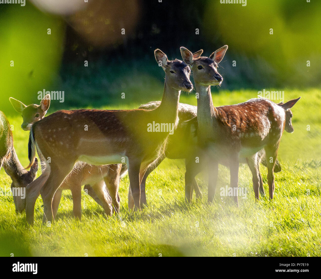 A group of adult and young Fallow Deer grazing in a meadow about 50 yards from an East Grinstead, West Sussex, UK housing estate in September. Stock Photo
