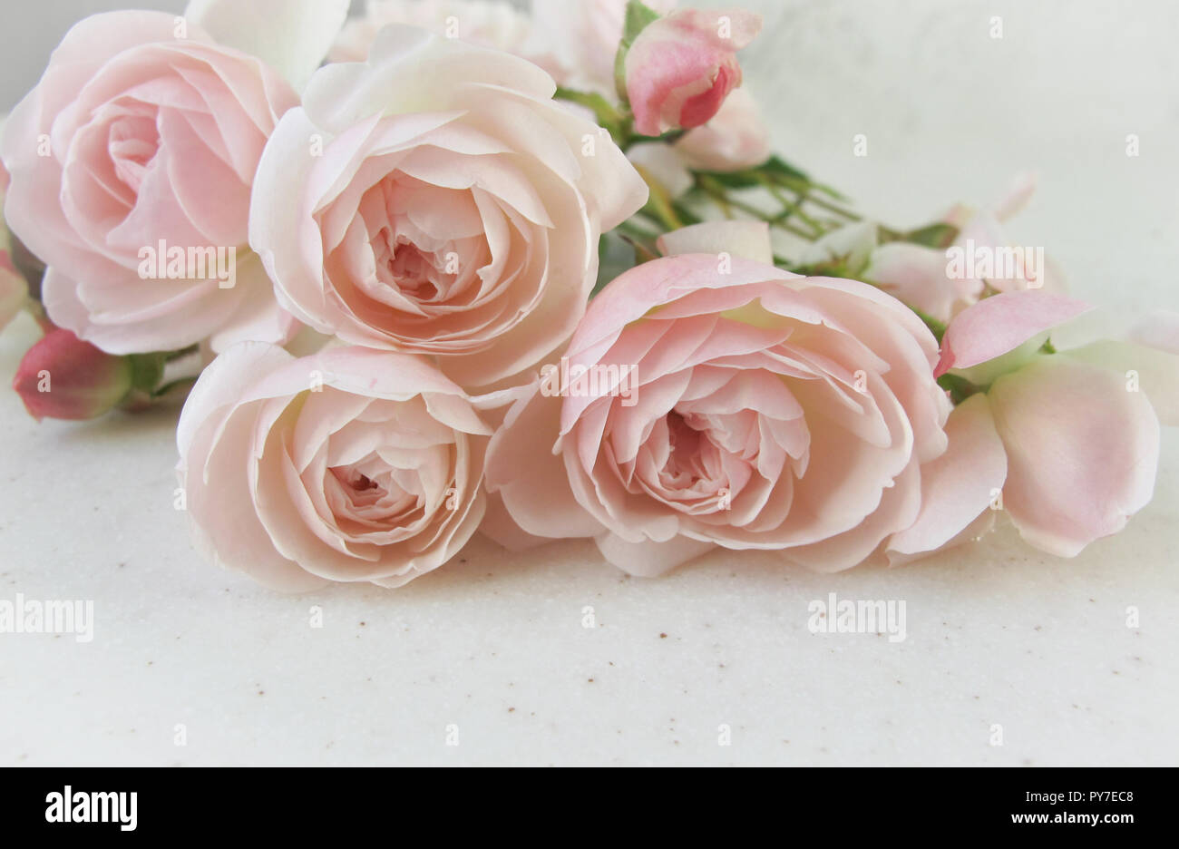 Pink Roses Isolated On White Background Perfect For Greeting Cards And Invitations Of The Wedding Birthday Valentines Day Mothers
