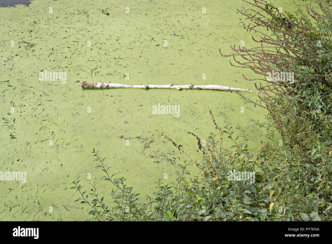 Stagnant water with algae bloom. Polluted river water. Water pollution concept - Stock Image