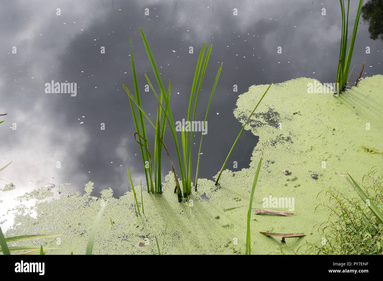 Stagnant water with algae bloom. Polluted river water. Water pollution concept Stock Photo