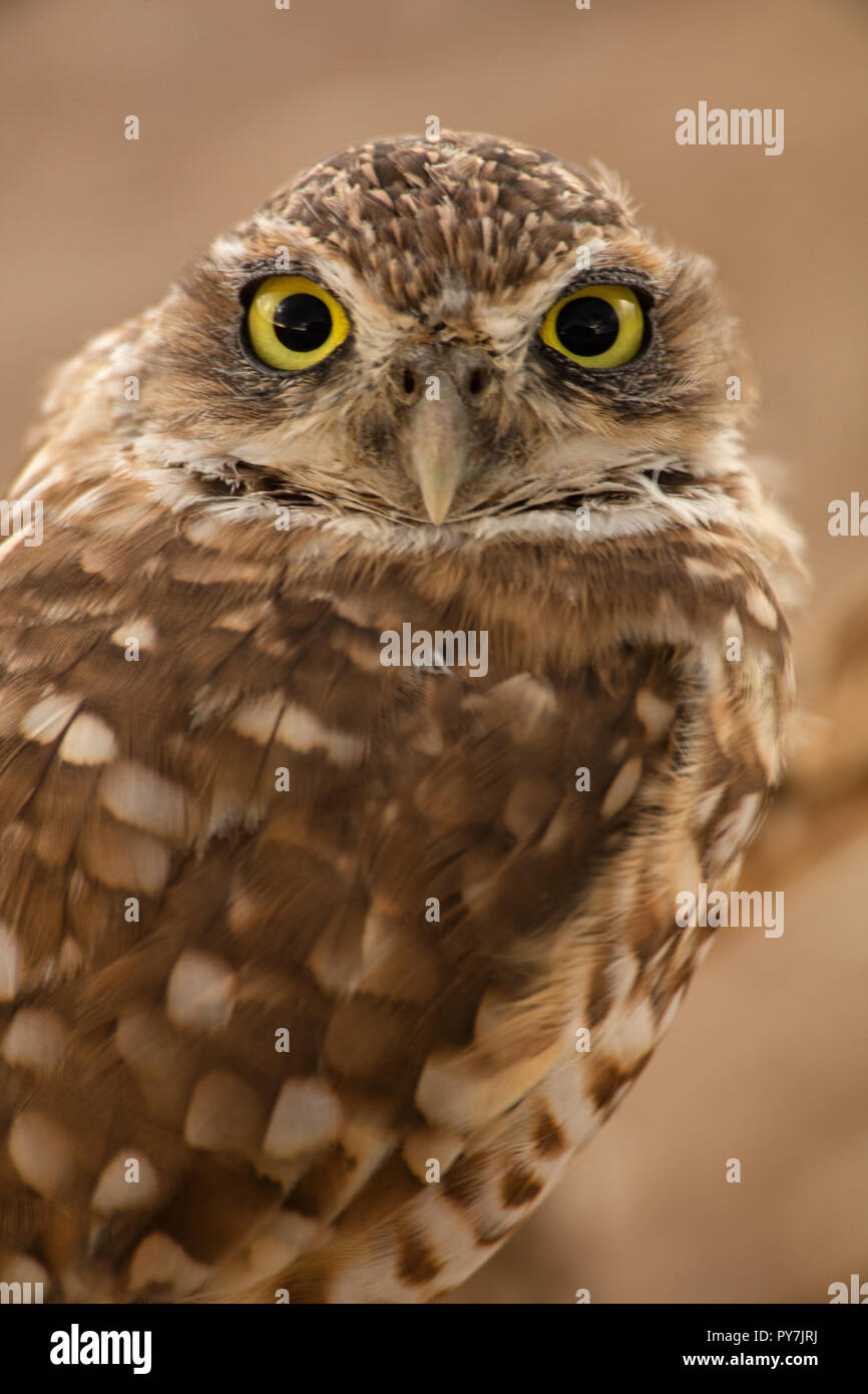 burrowing owl (Athene cunicularia), Arizona - Stock Image