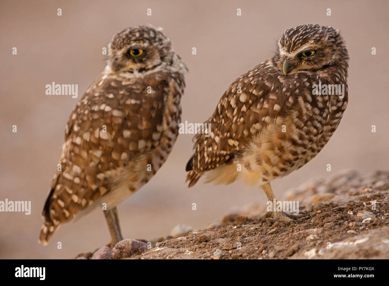 burrowing owls, (Athene cunicularia), Arizona - Stock Image