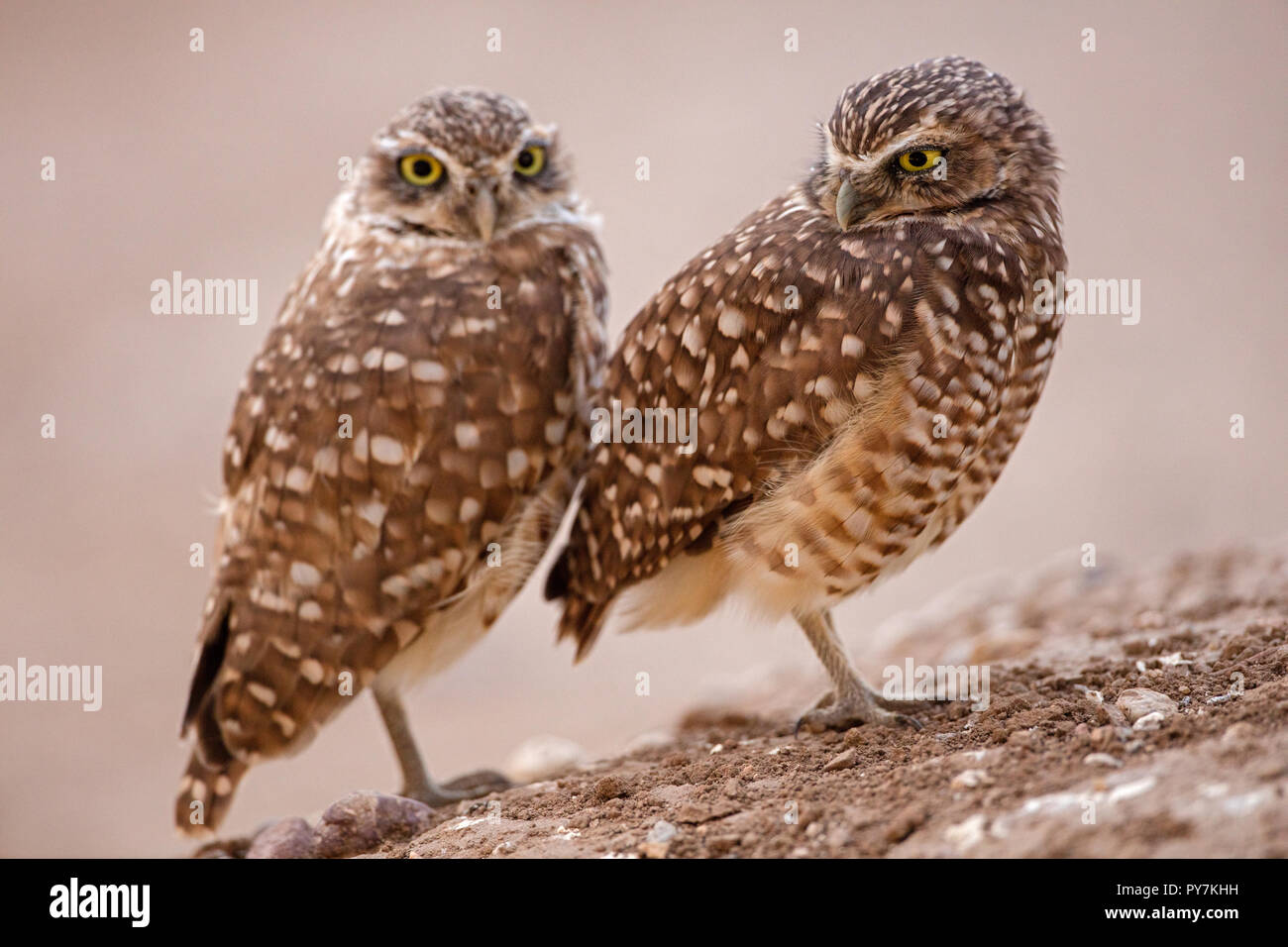 burrowing owl(s), (Athene cunicularia), Arizona - Stock Image