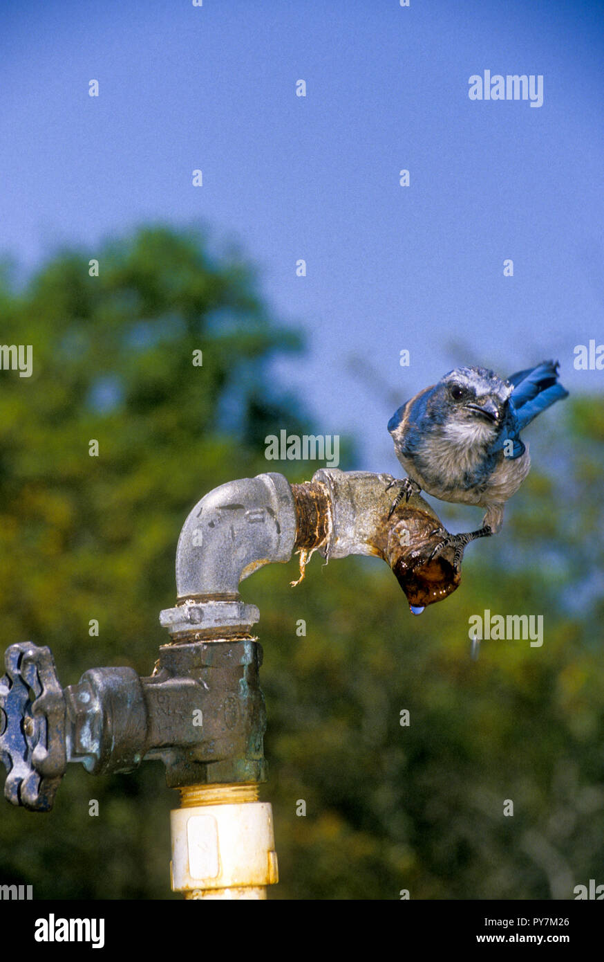 Florida Scrub Jay, Aphelocoma coerulescens, drinking from dripping water faucet - Stock Image