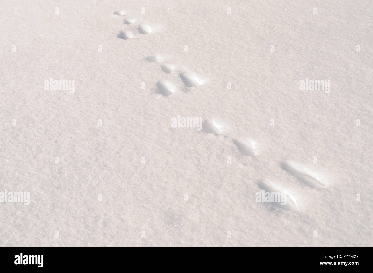 Hare tracks in snow - Stock Image