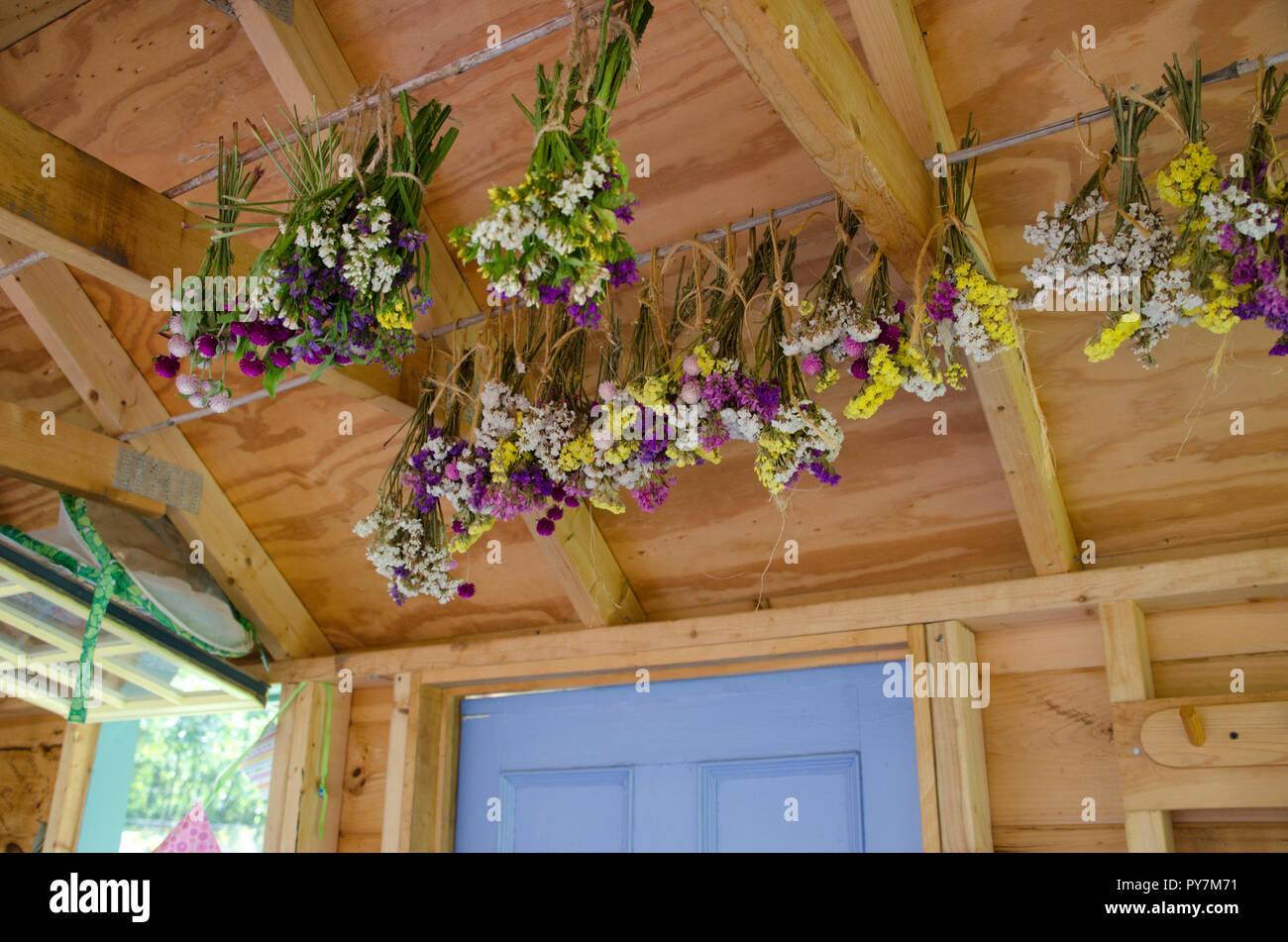 Statice flowers and gomphera drying in garden shed, Community garden, Maine Stock Photo