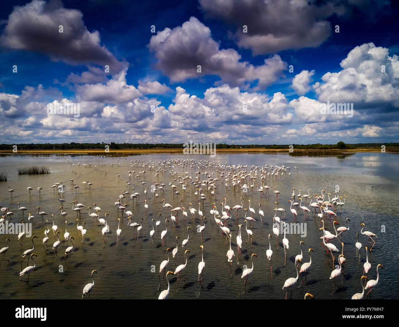 Flamingos Aerial Photograph, feeding in a lagoon in Sri Lanka - Stock Image