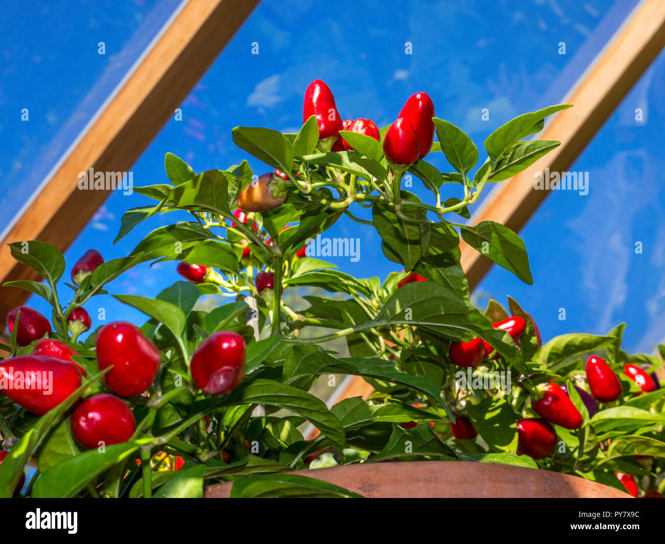 Chilli Pepper 'Loco' growing in sunny greenhouse with blue sky  'ornamental edible' for sunny domestic windowsill, patio container or greenhouse crop. Stock Photo