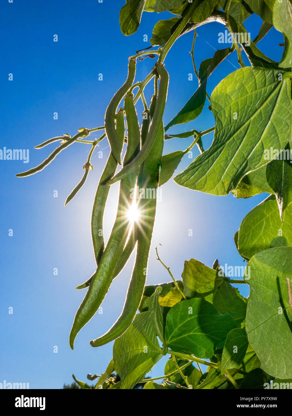 Runner Bean 'Moonlight' on a garden frame with sun burst breaking through. British Self Pollinating beans - Stock Image