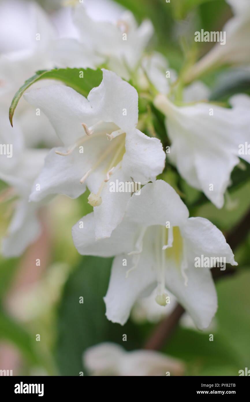Weigela 'White Knight' flowering deciduous shrub blossoms, May, UK garden - Stock Image