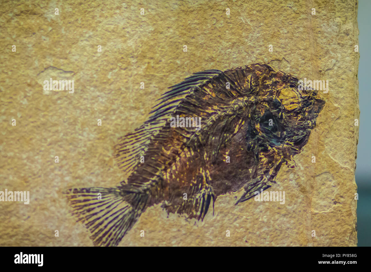 Priscacara fossil fish for sale. Priscacara is an extinct genus of perch from the middle Eocene. It is characterized by a sunfish-like body and its st - Stock Image