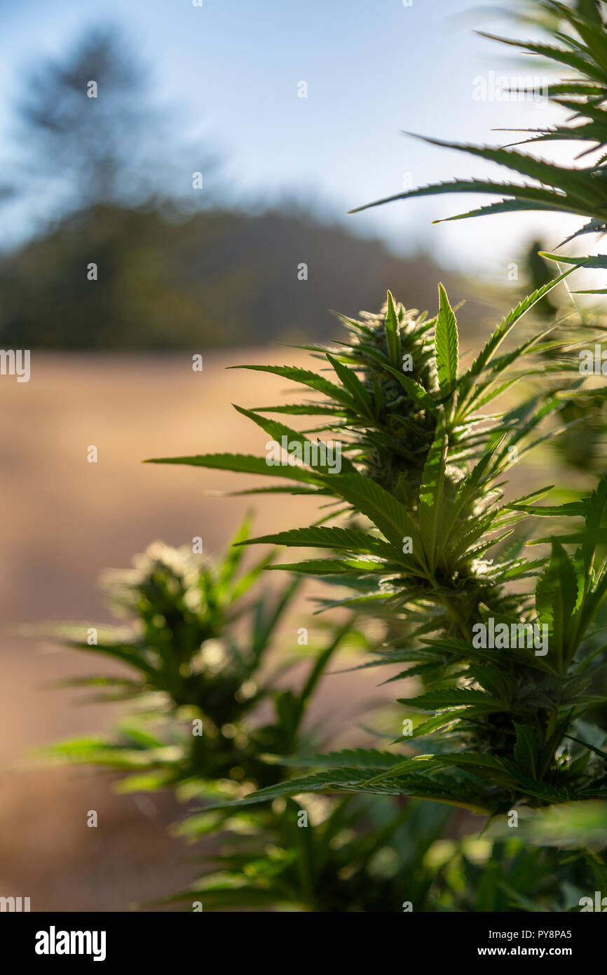 A beautiful marijuana bud mirrors the nature that surrounds it at an outdoor grow operation. - Stock Image