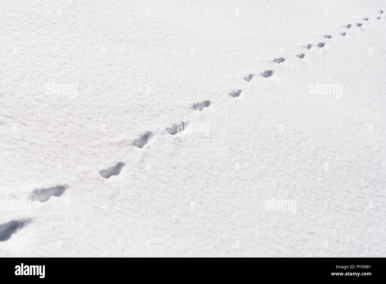 Fox foot animal tracks in the snow - Stock Image