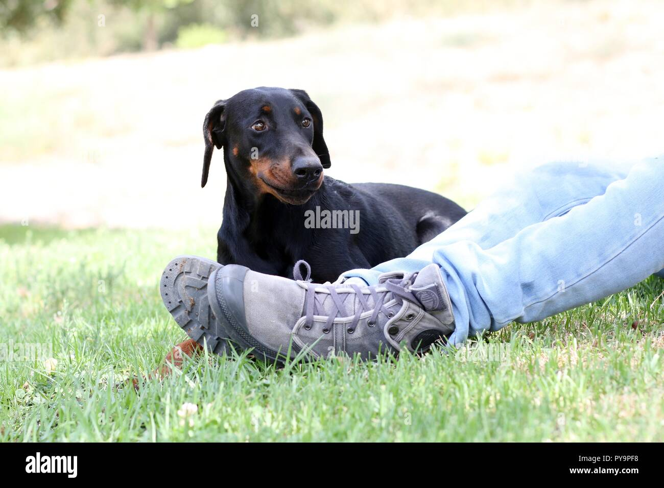 A dog lay on the grass next to her owner in the park - Stock Image