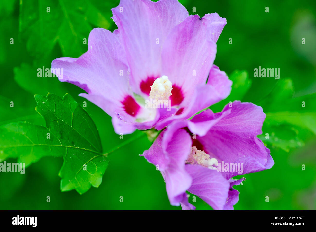 Purple Hibiscus Stock Photos Purple Hibiscus Stock Images Alamy