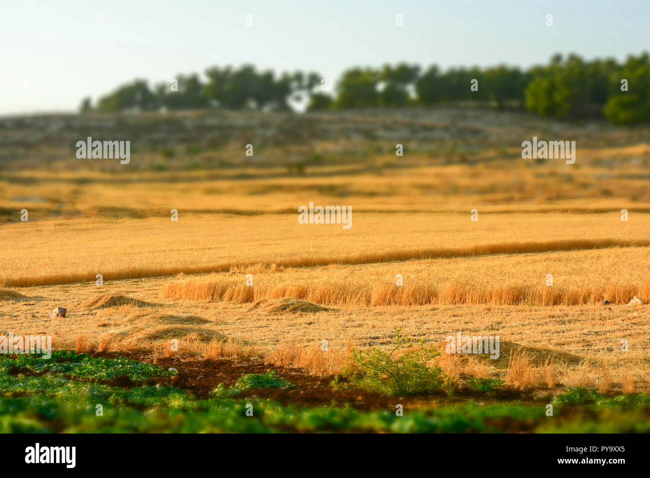 Barley field, Harvest season in summer Stock Photo
