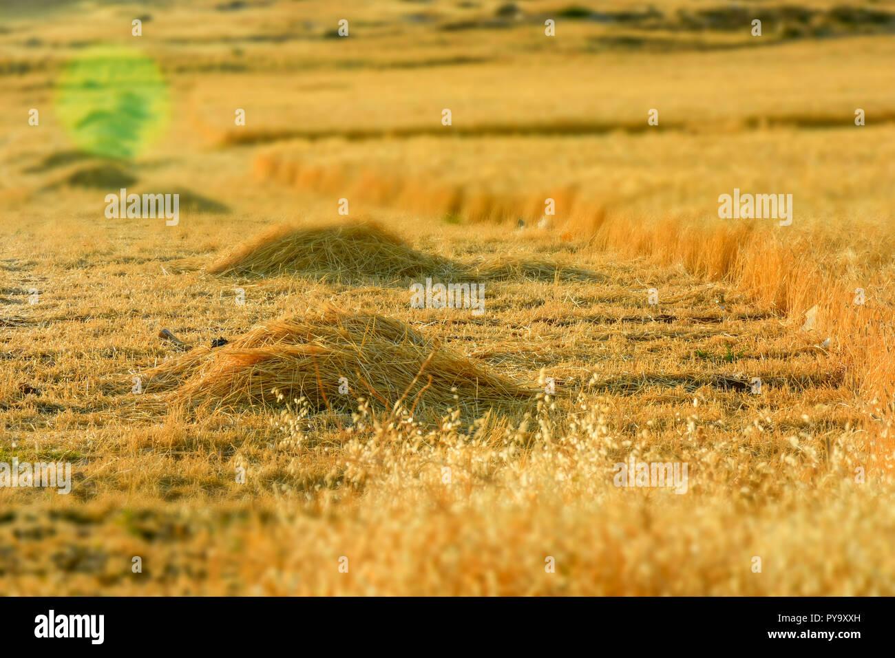 Barley field, Harvest season in summer Stock Photo